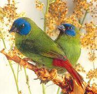 Blå hoved Papegøje Amadiner