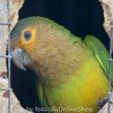 Surinam parakitter