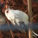 Diamantduer og andre duer sælges