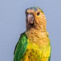 Guyana parakitter