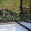 Mangefarvet parakitter