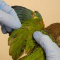 DNA-Kønsbestemmelse/Kønstest på fugle.