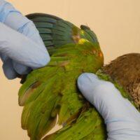 DNA-Kønsbestemmelse/DNA-kønstest på fugle